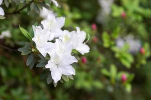 fiori di azalea bianca con sfondo sfocato giardino foto
