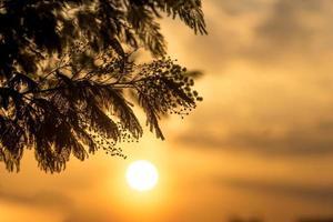 rami di un albero di acacia con un colorato tramonto nuvoloso