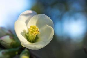 primo piano di japonica chaenomeles bianco e giallo, o mela cotogna giapponese, o mela cotogna di maule foto