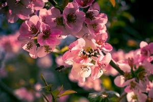 primo piano di fiori rosa su un ramo foto