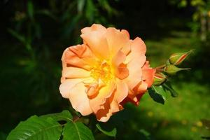 primo piano di una rosa arancione con uno sfondo verde sfocato foto