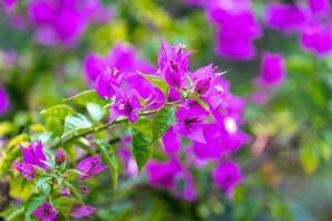 fiori di bouganville rosa brillante con uno sfondo verde sfocato a sochi, russia foto