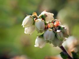 primo piano di fiori di mirtillo foto