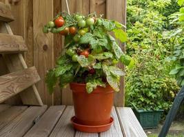 pianta di pomodoro in vaso foto