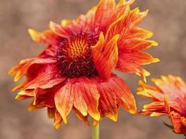 primo piano di un fiore coperta di gaillardia grandiflora foto