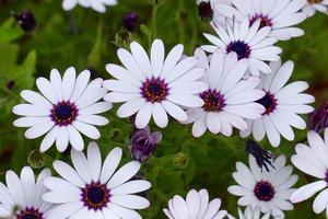 bellissimi fiori bianchi in giardino nella stagione primaverile foto