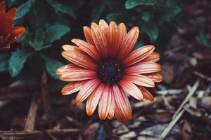 bella pianta fiore rosso in giardino in primavera foto