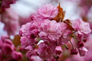 bellissimo fiore rosa pianta in giardino in primavera foto