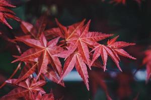 foglie di albero rosso nella stagione autunnale, colori autunnali