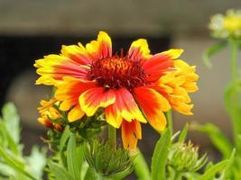 fiore di gaillardia arancione e giallo brillante foto