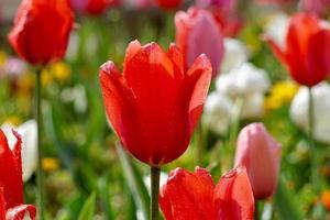 romantici tulipani rossi in giardino nella stagione primaverile foto