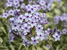 phlox bianco e viola foto