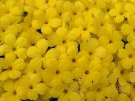 primo piano di piccoli fiori gialli foto
