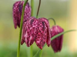 testa di serpenti fritillary fiori in un giardino foto