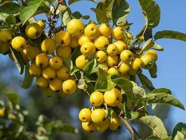 mele di granchio gialle su un ramo di un albero