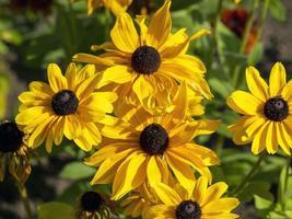 coneflowers giallo brillante foto