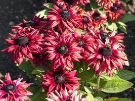 coneflowers rosso scuro foto