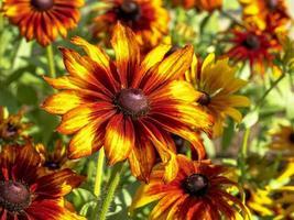 coneflowers arancioni e gialli foto
