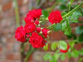 rose rosse in fiore contro un muro di mattoni foto