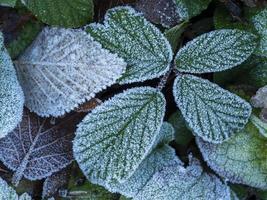 primo piano delle foglie coperte di brina bianca foto