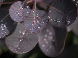 foglie viola con goccioline d'acqua dopo un acquazzone foto
