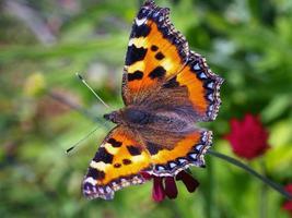 primo piano di una farfalla tartaruga foto