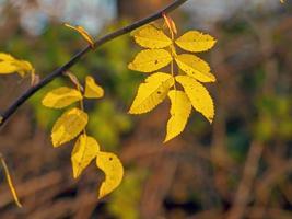 foglie di frassino giallo alla luce del sole invernale