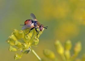 il gymnosoma è un genere di mosche della famiglia dei tachinidi, in Grecia foto