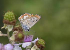 aricia agestis, l'argus marrone, è una farfalla della famiglia lycaenidae, grecia foto