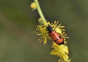 il coleottero mylabris quadripunctata, grecia foto