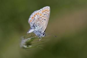 blu comune - polyommatus icarus, grecia foto
