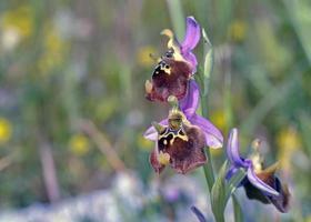 fiore di ophrys episcopalis, grecia foto