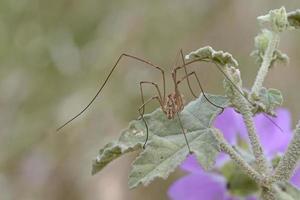gli opiliones precedentemente phalangida sono un ordine di aracnidi comunemente noti come mietitori. Creta foto