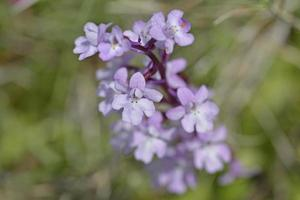 orchidee a quattro macchie - anacamptis quandripunctata, creta foto