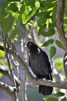 La cornacchia eurasiatica - corvus monedula, grecia foto