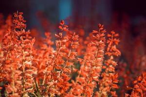 primo piano di fiori di salvia con sfondo sfocato foto