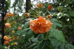 rose arancioni con gocce d'acqua foto
