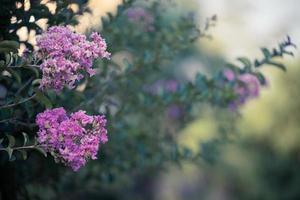 lillà con uno sfondo verde sfocato in lankaran, azerbaigian foto