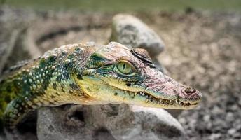 testa di coccodrillo con bocca a trentadue denti e occhi gialli da vicino foto
