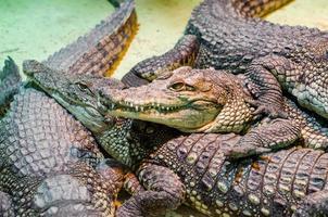 diversi coccodrilli alligatore, pericolosi rettili carnivori si chiudono foto