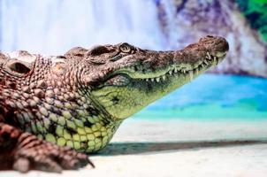 grande testa di coccodrillo con bocca a trentadue denti e occhi verdi da vicino foto