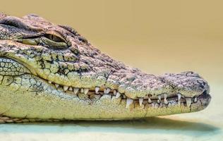 testa di coccodrillo con la bocca a trentadue denti e gli occhi gialli isolati da vicino su uno sfondo giallo foto