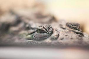 occhi di coccodrillo, pericoloso rettile si nasconde guardando e caccia da vicino foto