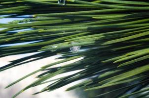 gocce d'acqua sugli aghi verdi di un albero di abete rosso, macro close up, sfondo primavera foto