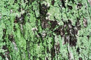fondo in legno del tronco di albero di acero con muschio verde foto