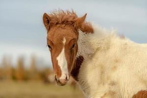 primo piano di un cavallo islandese color pinto carino foto