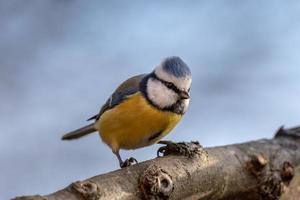 primo piano di un uccello blu e giallo foto