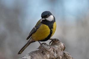 primo piano di un uccello cinciallegra foto