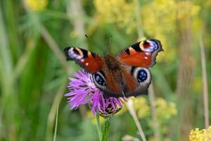 primo piano di una farfalla pavone su un fiore rosa foto
