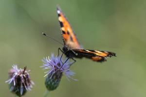 piccola farfalla tartarugata foto